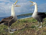 Coppia di albatros delle Galapagos