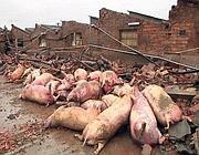 Cadaveri di maiali uccisi dal sisma a San Felice sul Panaro (Ansa)