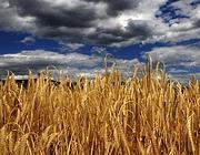Un campo di grano presso Valandovo, nella Macedonia sud-orientale (Ap)