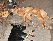 Cani uccisi con bocconi avvelenati a Kiev (foto A. Cisternino)