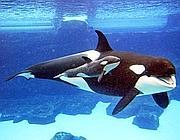L'orca Kasatka nuota con un suo cucciolo in una vasca del SeaWorld di San Diego (Epa)