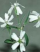 La pianta di Silene stenophylla «resuscitata» (da Pnas)