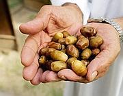Datteri, frutti della Phoenix Dactylifera o palma da dattero (Epa)