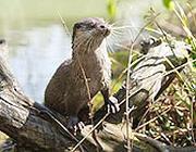 Un esemplare di lontra, animale sempre meno presente nei corsi d'acqua italiani