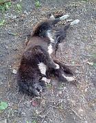 Cane ucciso a fucilate (Cisternino  - Oipa)