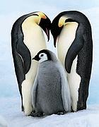 Una famiglia di pinguini