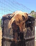 Il cane nella trappola mortale