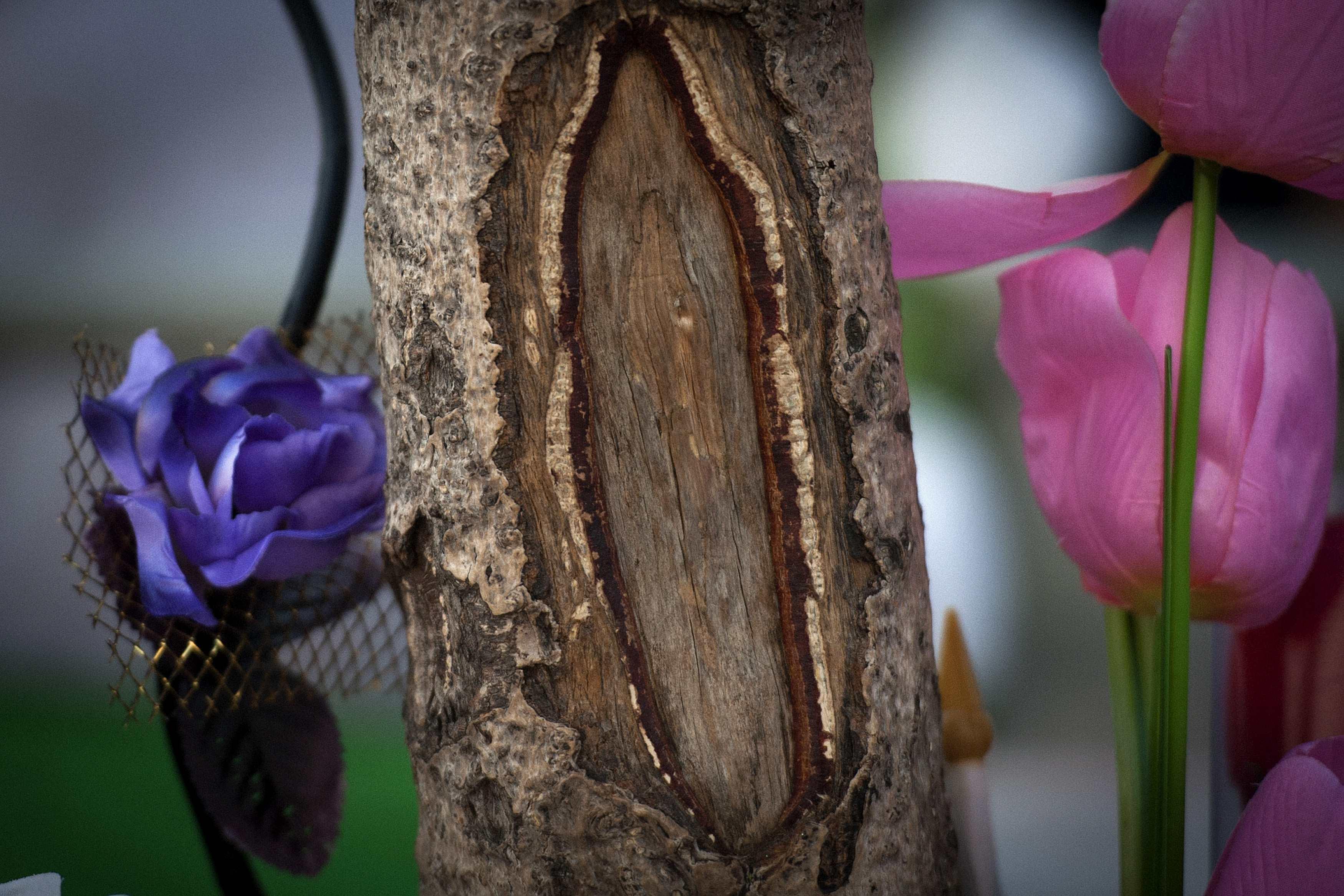 Il tronco del ginkgo biloba con il nodo che sembra la Vergine Maria (Reuters/Bedford)