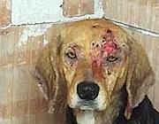 Un cane ferito a Monreale