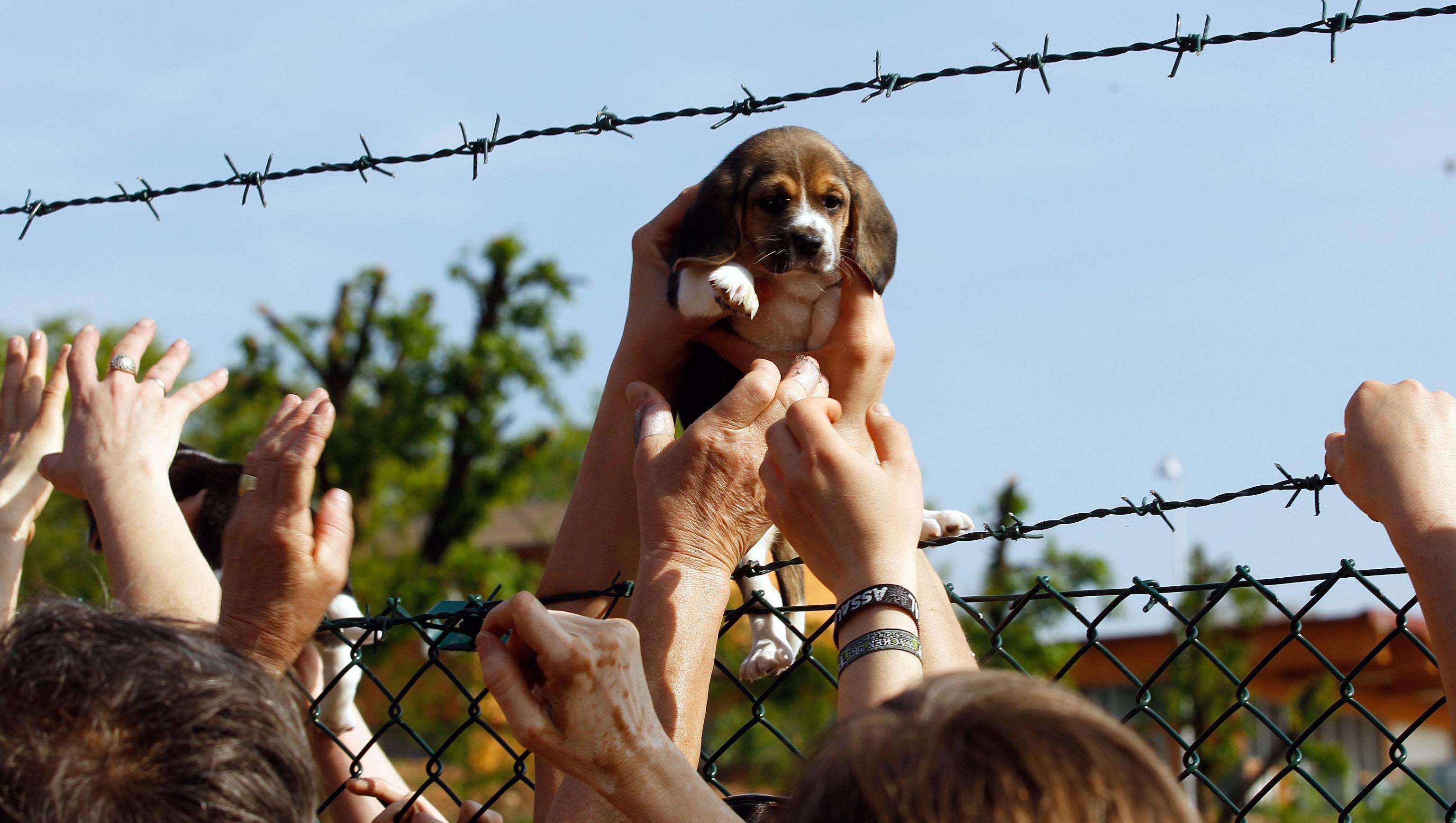 Gli animalisti mentre liberano un beagle dell'allevamento Green Hill