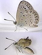 Dall'alto, la farfalla  Zizeeria prima e dopo Fukushima (Ansa)