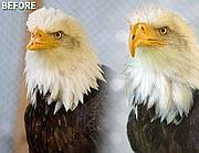 Prima e dopo, l'aquila Beauty con il becco stampato in 3d