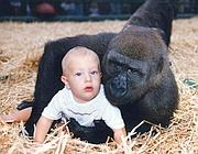 Tansy Aspinall nel 1990, quando aveva 18 mesi, con un gorilla