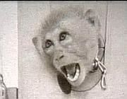 Una scimmia usata come cavia, una delle immagini-cho dell'operazione Cauldron (fonte Daily Mail)
