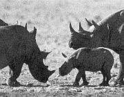 Rinoceronti neri (foto BBC)
