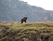 L'orso M13