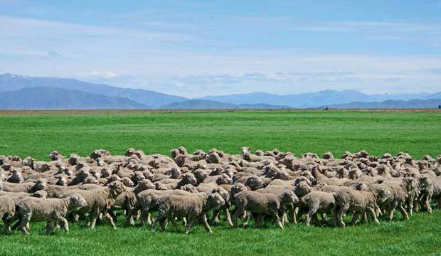 Vi presentiamo le pecore che fanno il vostro abito