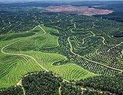 La piantagione di olio di palma PT Tunggal Perkasa Plantations (Astra Agro) a Lirik, nella provincia di Rian, sull'isola di Sumatra