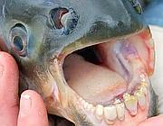 La dentatura di un esemplare di Pacu