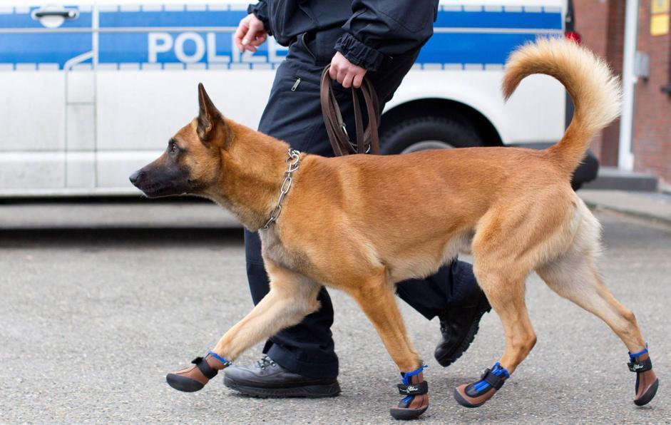 In Germania i cani poliziotti hanno le scarpe. A Osnabrueck tutti gli animali avranno le calzature per proteggere le zampe (Afp/Gentsch)