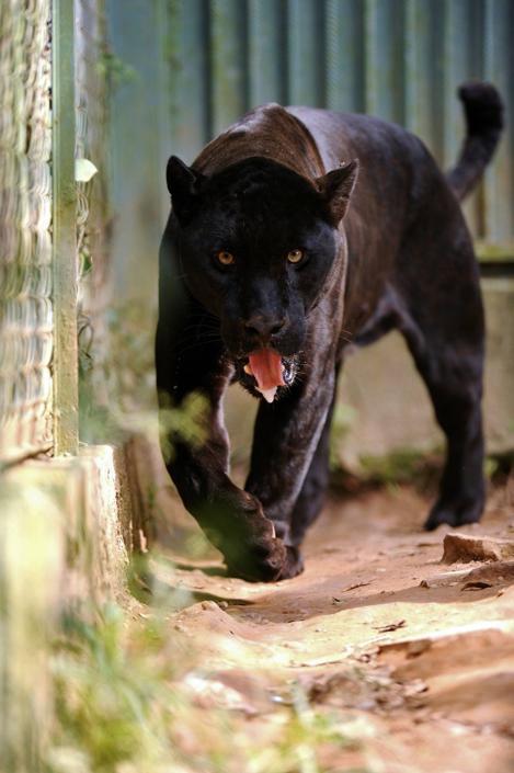 Un giaguaro melanico  all'interno della riserva «Petro Velho»