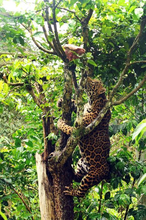 Un giaguaro si arrampica su un albero per afferrare un pezzo di carne