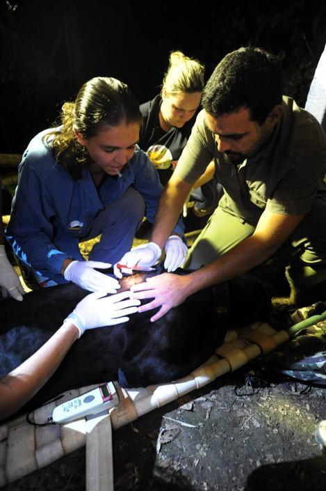 Membri della ONG �Nex� e dell'Istituto brasiliano dell'Ambiente (IBAMA) visitano un giaguaro melanico prima di rilasciarlo nei boschi nello stato di Goias, in Brasile