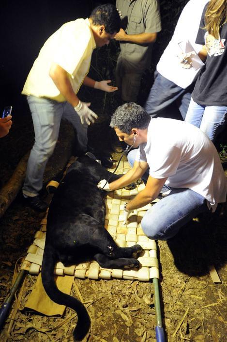 Membri della ONG �Nex� e dell'Istituto brasiliano dell'Ambiente (IBAMA) visitano un felino prima di rilasciarlo nei boschi nello stato di Goias, in Brasile