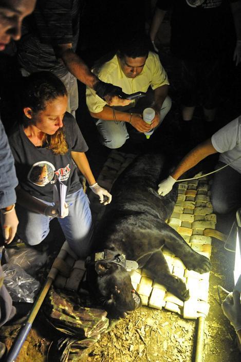 Membri della ONG �Nex� e dell'Istituto brasiliano dell'Ambiente (IBAMA) prendono informazioni biometriche e applicano un collare Gps a un felino prima di rilasciarlo nei boschi nello stato di Goias, in Brasile