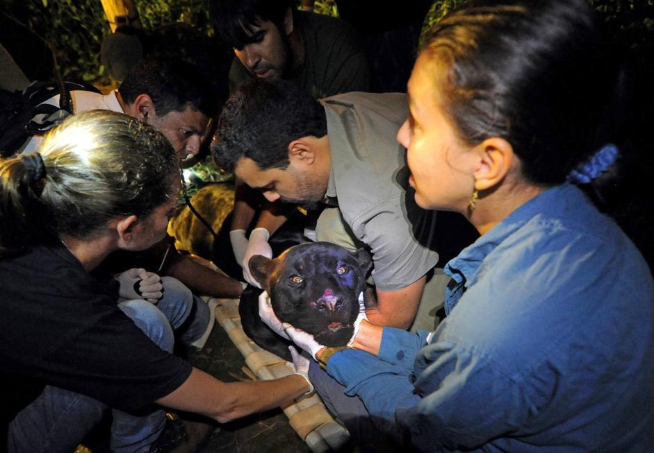 Membri della ONG �Nex� e dell'Istituto brasiliano dell'Ambiente (IBAMA) prendono informazioni biometriche e applicano un collare Gps a un giaguaro melanico prima di rilasciarlo nei boschi nello stato di Goias, in Brasile