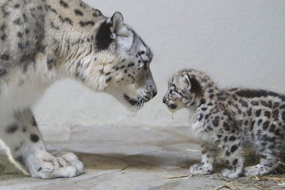 snow leopard wallpaper next