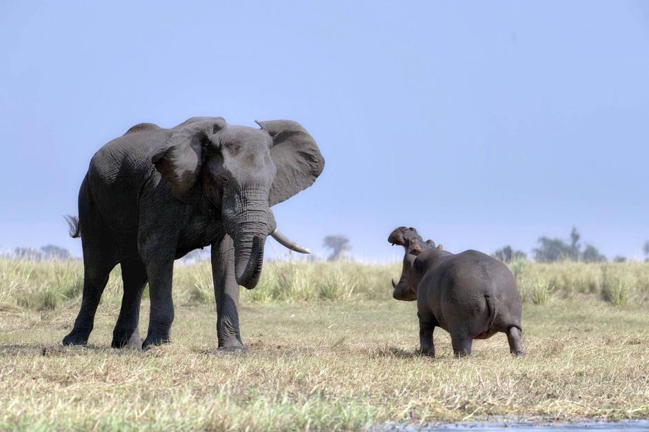 La sfuriata dell'ippopotamo, però, sembra non sortire il suo effetto