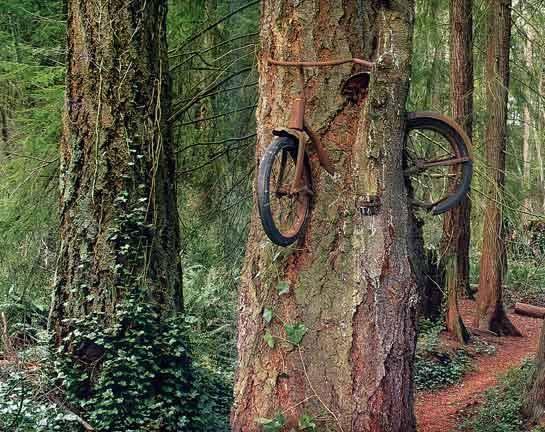 Dove hai lasciato la bici? Me l'ha mangiata l?albero. Cinquant'anni fa un ragazzino dello stato di Washington lasciò la sua bicicletta vicino a un albero. Andò a fare un giro con gli amici e al suo ritorno non la trovò più. Ora, trascorso quasi mezzo secolo, quella bici è ricomparsa: è stata inghiottita dall?albero - letteralmente.