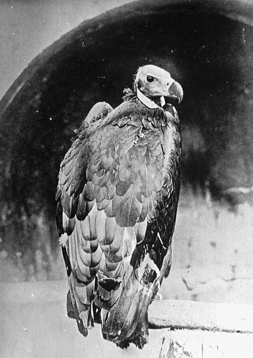 L'avvoltoio indiano, collezione ?Bandini?, India, 1903, foto di anonimo