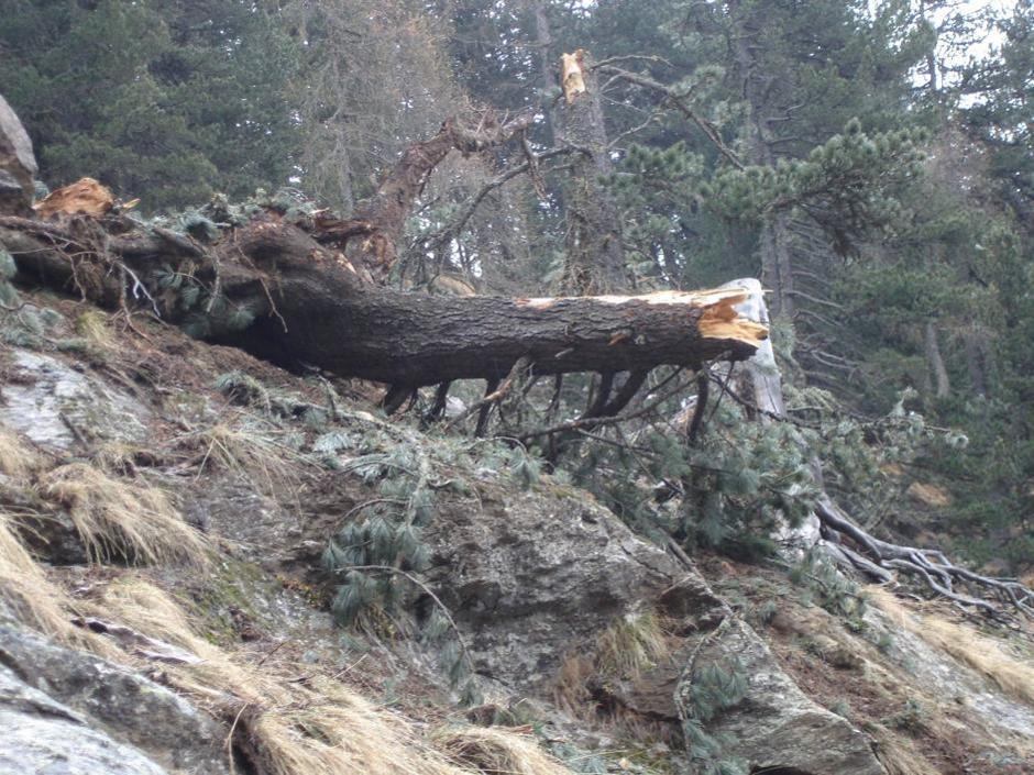 Ci sar� anche un pino cembro del Parco di Paneveggio, abbattuto da una valanga