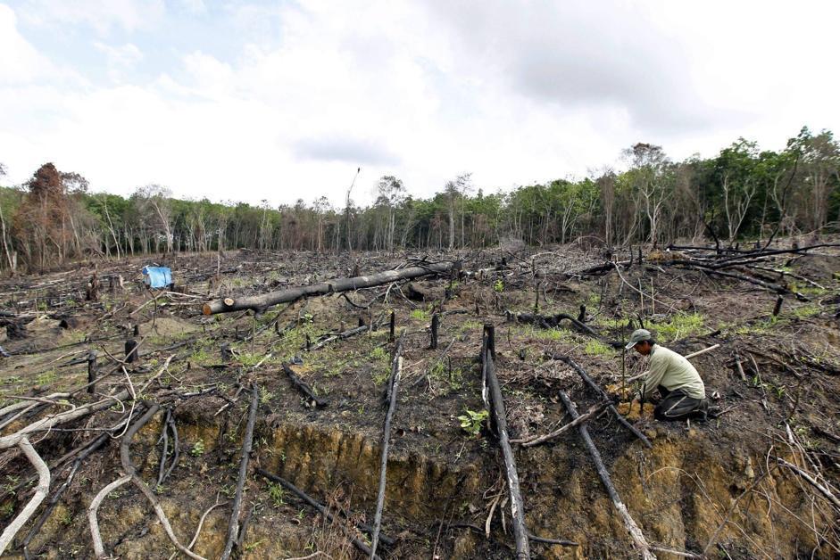 Si piantano alberi della gomma in questa foresta distrutta a Teluk Meranti, nel distretto di Pelalawan, nella provincia di Riau (Epa/Indahono)