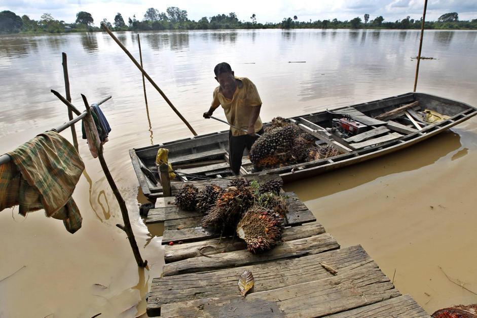 La raccolta dei datteri della palma da olio sul fiume Indragiri Hulu (Epa/Indahono)