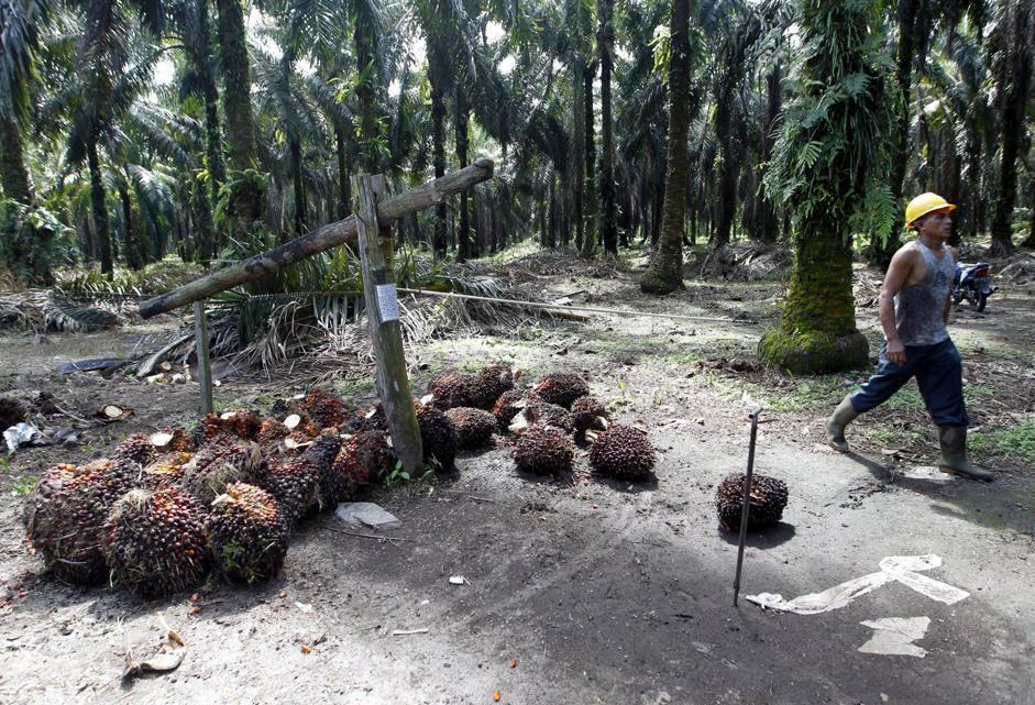 La raccolta dei datteri della palma da olio nel villaggio di Pontian Mekar, presso il Parco nazionale di Tesso Nilo (Epa/Indahono)