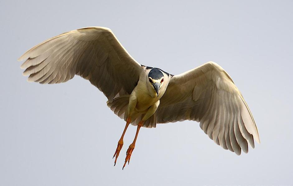 Nitticora in volo (Fronte/Wwf)