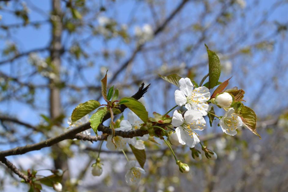 Ciliegio in fiore, Maso Fratton, Parco Adamello-Brenta (Bragonzi/Wwf)