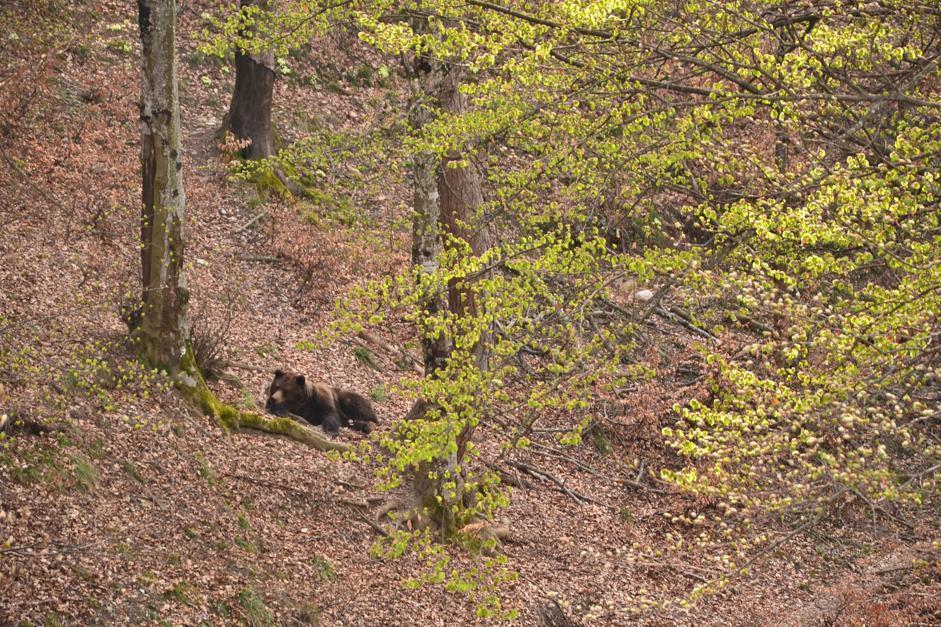 Orsa che riposa, Spormaggiore (Bragonzi/Wwf)