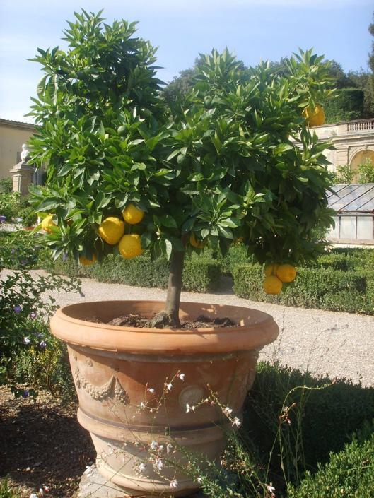 I giardini della Villa Medicea di Castello ospitano una straordinaria collezione di agrumi antichi e rari