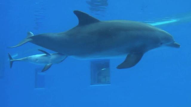 Le spettacolari immagini della nascita di un delfino corriere tv