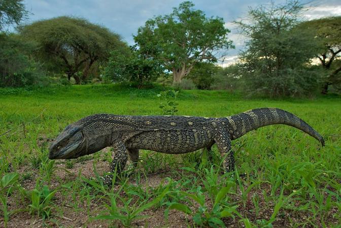 Selous Game Reserve Tanzania  city photos gallery : Varano gola bianca, Selous Game Reserve, Tanzania Varanus albigularis ...