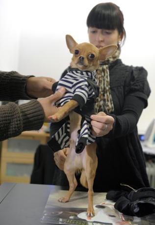 Chihuahua il cane delle star for Stilista francese famoso