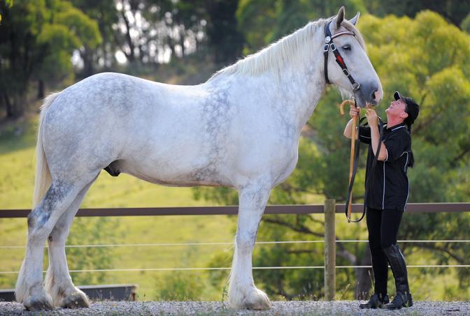 Luscombe Nodram, detto Noddy, è un cavallo gigante: alto 2,05 metri, pesa una tonnellata e mezza e ha 7 anni. Nelle foto è con la sua proprietaria, Jane Greenman, prima di una tournée in Australia. La specie Shire rischia l'estinzione, ne sono rimasti circa 2mila esemplari (Afp)