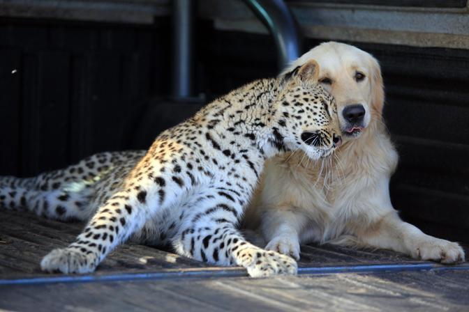 Sal e Tommy, cucciolo femmina di leopardo e golden retriever in un rifugio per animali di Pretoria, Sudafrica (fotografie Getty Images)