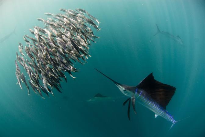 Una coppia di squali bronzei attacca un banco di sardine al largo delle coste del Sudafrica. Le sardine costituiscono una delle voci principali nella dieta  di questo tipo di squalo, che si nutre per circa il 50 per cento di pesci ossei (© Hugh Miller)