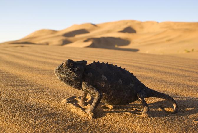 Un camaleonte Namaqua nel deserto del Gababeb, in Namibia: si nutre di scarafaggi, lucertole, serpenti, scorpioni e nelle ore più calde assume una tonalità più chiara che riflette la luce e respinge il calore (© Rupert Barrington)