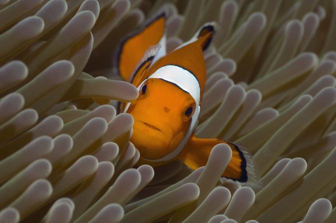 Un pesce pagliaccio nascosto tra gli anemoni di mare della barriera corallina in Indonesia. Reso celebre dal film Alla ricerca di Nemo, è ai primi posti fra gli animali a rischio: l?acidificazione degli oceani ne distrugge l?olfatto e la capacità di individuare gli anemoni, dove trova riparo dai predatori (© Georgette Douwma)
